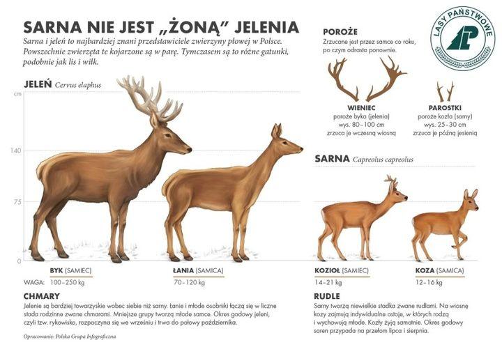 Jelenie i sarny - lasy państwowe